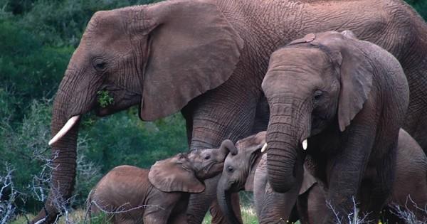 Ελέφαντας: Ένα αξιοθαύμαστο ζώο (video)