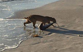 Αληθινό ή όχι γεγονός; Αγριόγατα έπιασε στα δόντια της καρχαρία! (Βίντεο)