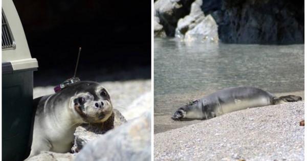 Απελευθέρωσαν την ορφανή φώκια στο Εθνικό Θαλάσσιο Πάρκο Αλοννήσου