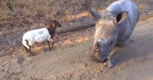 Δείτε τι έγινε όταν ένας ρινόκερος συνάντησε ένα αρνάκι! (Βίντεο)