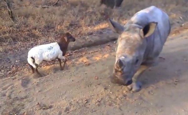 ρινόκερος αρνί