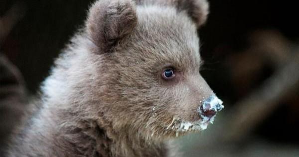 Ο Πάτρικ, το ορφανό αρκουδάκι, μεγαλώνει και ζωηρεύει στην αγκαλιά του ΑΡΚΤΟΥΡΟΥ