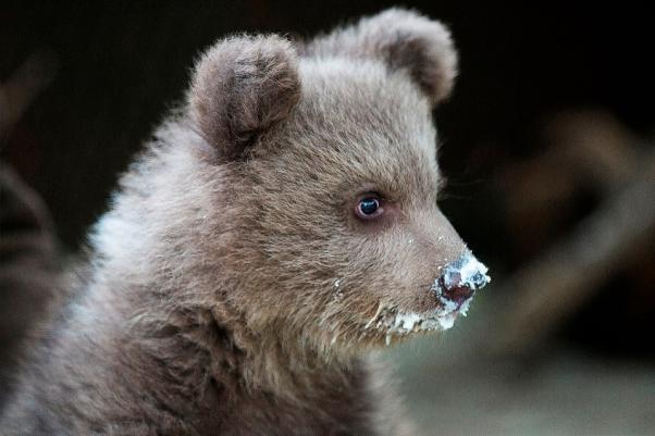 Αρκτούρος αρκουδάκι αρκούδα