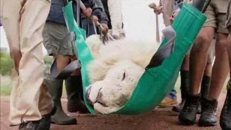 Λευκό λιοντάρι διάσωση