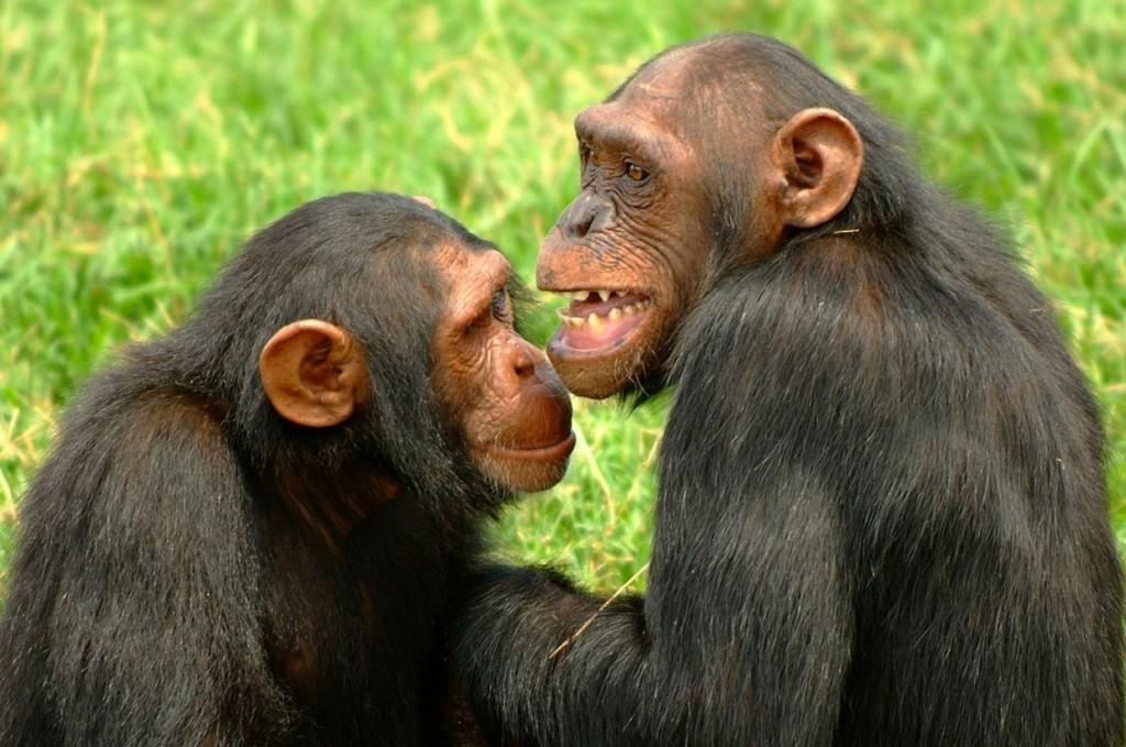 Χιμπατζήδες πειραματόζωα νομικά πρόσωπα