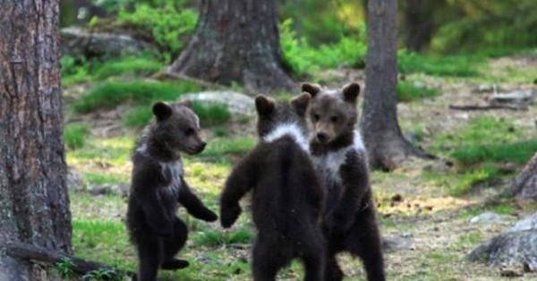 Απίστευτες φωτογραφίες: Αρκουδάκια παίζουν «γύρω-γύρω όλοι»