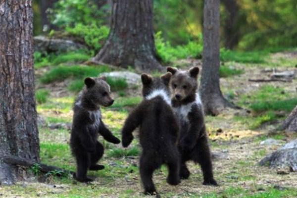 δάσος αρκουδάκια