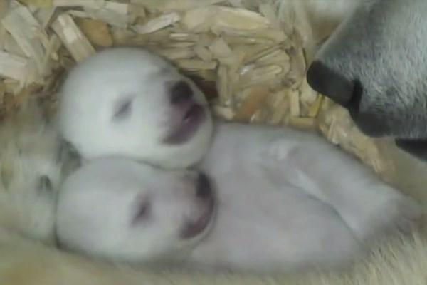 νεογέννητα αρκουδάκια