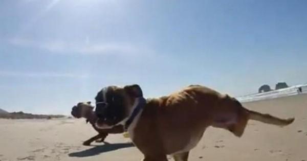 Μπόξερ με δύο πόδια τρέχει ξετρελαμένο στην παραλία!
