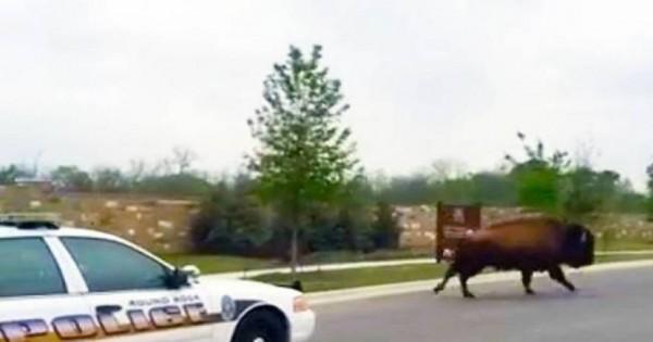 Αστυνομικοί καταδιώκουν βούβαλο σε λεωφόρο του Τέξας! (Βίντεο)