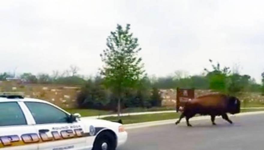 buffalo_runs