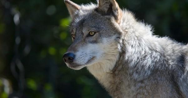 Πως οι λύκοι επηρεάζουν το περιβάλλον (video)