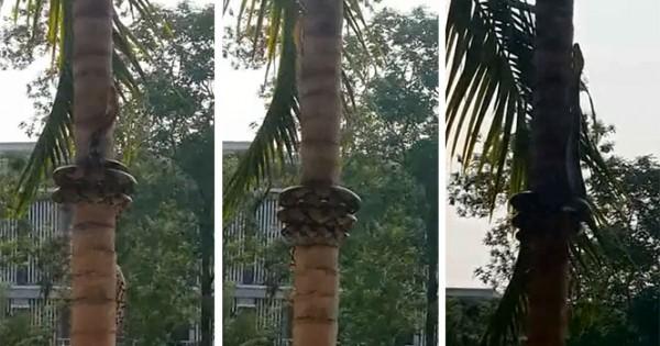 Δείτε πώς σκαρφαλώνουν τα φίδια στα δέντρα (video)