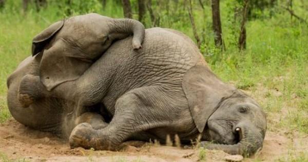 Κι όμως αυτοί οι ελέφαντες είναι λιώμα μετά από… μεθύσι!