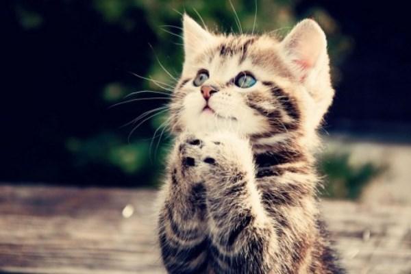 νιαούρισμα γάτες Γάτα