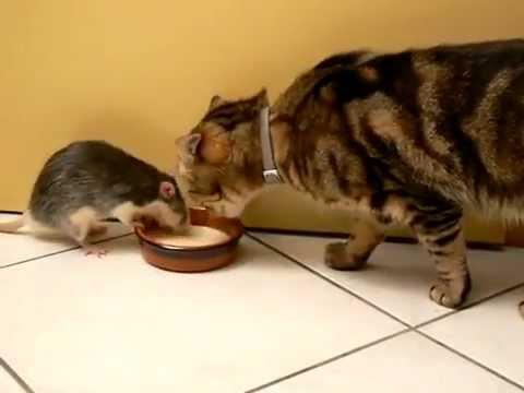 ποντίκι Γάτα αρουραίος
