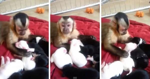 Μαϊμού συναντά κουτάβια για πρώτη φορά! Δείτε την εκπληκτική αντίδρασή της!