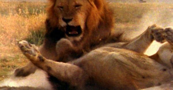 Μονομαχία λιονταριών (βίντεο)