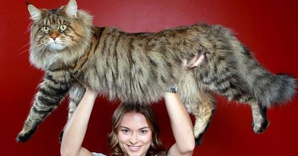 Γάτες γιγαντιαίων διαστάσεων!