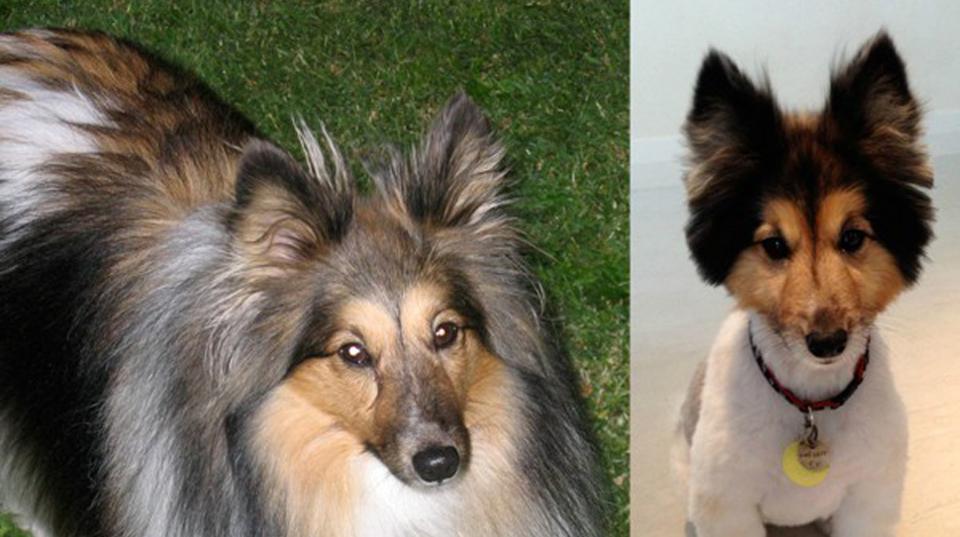 Σκύλος πριν και μετά Κούρεμα