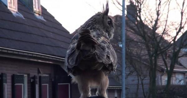 Η κουκουβάγια που προκαλεί τρόμο σε μια ολόκληρη πόλη (video)