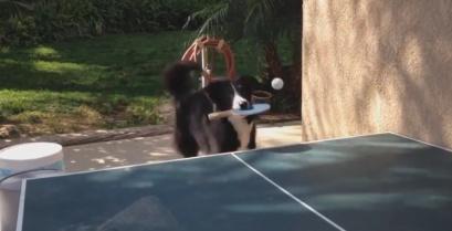 Ο σκύλος που παίζει πινγκ πονγκ (Βίντεο)