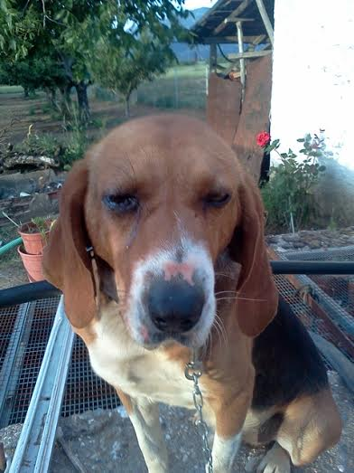 Τρίπολη Beagle