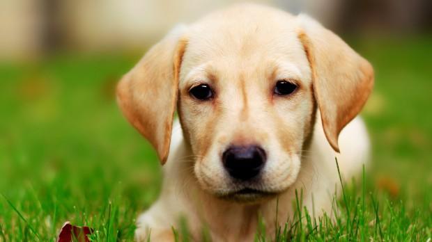 στείρωση Σκύλος σκυλιά γέννα