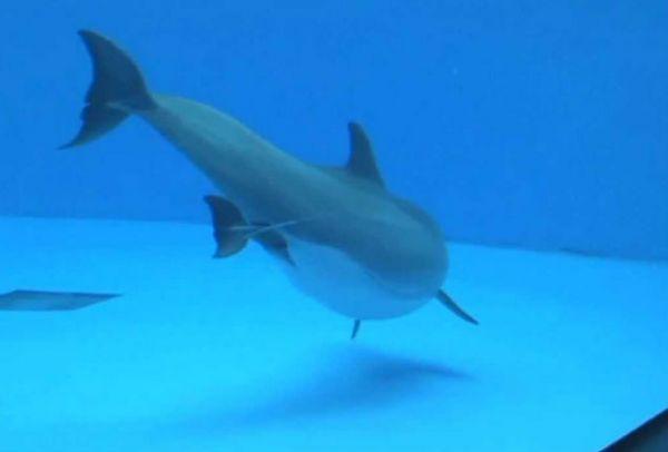 δελφίνια δελφίνι γέννα