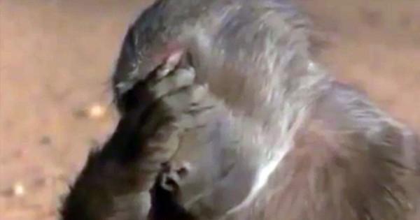 Άγρια ζώα καταναλώνουν φρούτα που περιέχουν αλκοόλ και… μεθούν! Δείτε τις μεθυσμένες … αντιδράσεις τους! (Βίντεο)