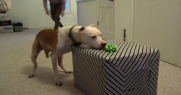 Ο 11χρονος σκύλος Pitbull με καρκίνο που του έκαναν έκπληξη για τα γενέθλια του επειδή νίκησε τον καρκίνο! (Εικόνες-Βίντεο)