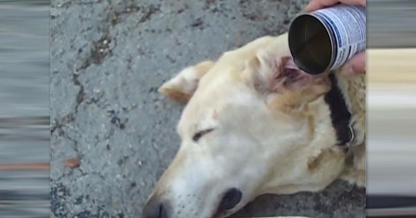 Έριξε ξίδι μέσα στο αυτί ενός γέρικου σκύλου. Ο λόγος; Πολύ έξυπνος! (Βίντεο)