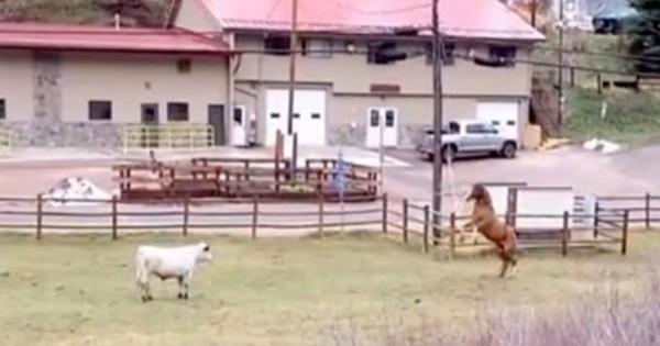Η αγελάδα πλησιάζει το άλογο. Τώρα κοιτάξτε την αντίδραση του αλόγου! (Βίντεο)