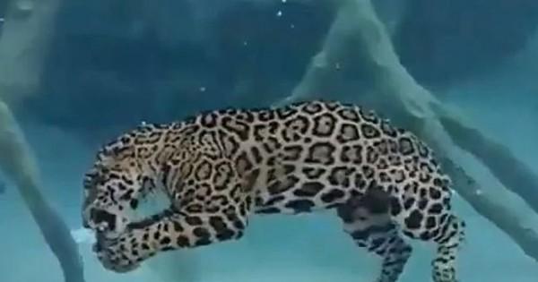 Το τζάγκουαρ που κάνει υποβρύχιο (Βίντεο)
