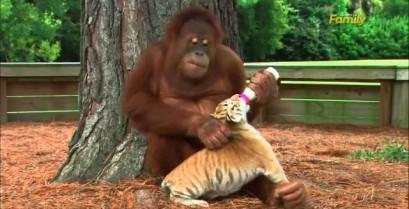 Ο ουραγκοτάγκος φροντίζει τις μικρές τίγρεις (Βίντεο)