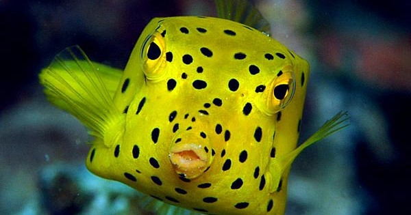 Boxfish: Το παράξενο ορθογώνιο ψάρι! (Φωτογραφίες)