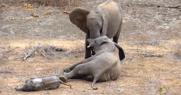 Αυτά τα δυο αδέλφια ελέφαντες άρχισαν να μαλώνουν. Δείτε όμως τι έκανε το μικρό ελεφαντάκι…(Βίντεο)