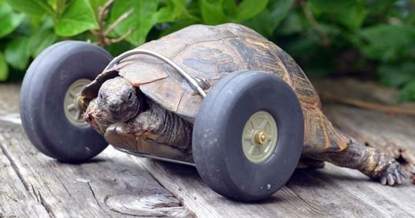 90 ετών χελώνα της οποίας τα πόδια είχαν φαγωθεί από αρουραίους φοράει πρόσθετες ρόδες και τρέχει δύο φορές γρηγορότερα! (Φωτογραφίες-Βίντεο)