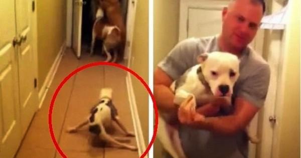 Αυτό το pitbull γεννήθηκε διαφορετικό, αλλά δείτε τι κάνει όταν βλέπει τον ιδιοκτήτη του…