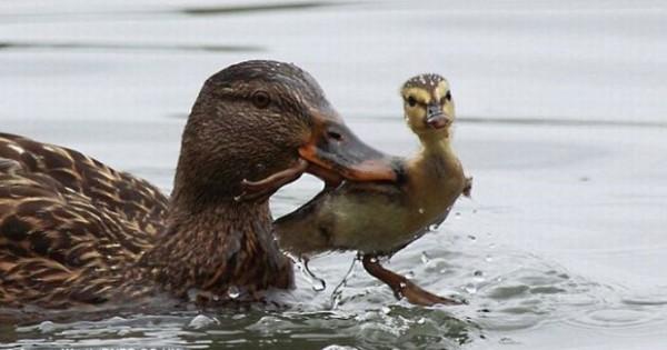 Πάπια διδάσκει το παπάκι (Εικόνες)