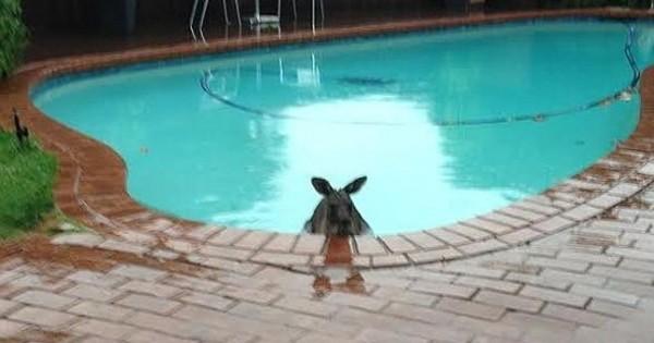 Βρήκε ένα καγκουρό στην πισίνα του! (Εικόνες)