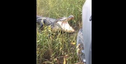 Αλιγάτορας εναντίον αυτοκινήτου (Βίντεο)