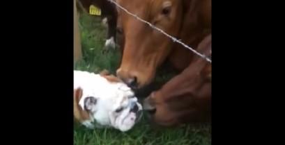 Το μπουλντόγκ συναντά τις αγελάδες (Βίντεο)