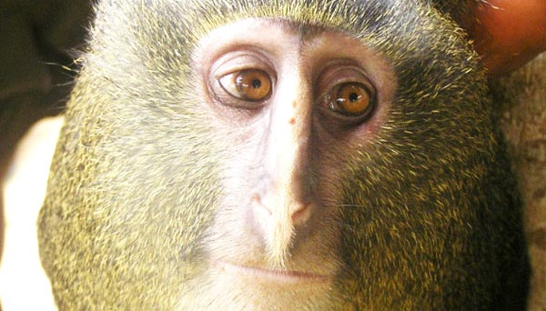 πίθηκος