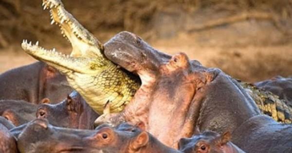Αυτά είναι τα 10 πιο φονικά ζώα στον πλανήτη! (Βίντεο)