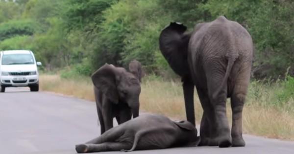 Ένα αξιολάτρευτο ελεφαντάκι καταρρέει στο δρόμο από την κούραση, δείτε όμως τι έκαναν ο μπαμπάς και η μαμά του… (Βίντεο)