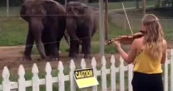 Άρχισε να παίζει βιολί μπροστά σε δύο ελέφαντες. Δεν περίμενε ποτέ την αντίδραση αυτή! (Βίντεο)