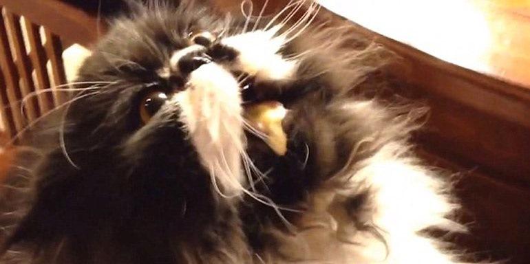 περσικός γάτος παγωτό Γάτα