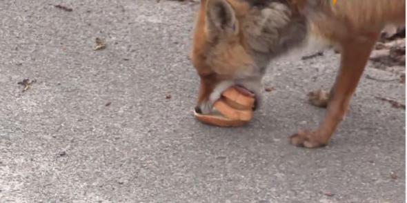 Αλεπού στο Τσερνόμπιλ φτιάχνει ένα σάντουιτς (Βίντεο)