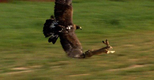 Αετός εναντίον λαγού (Βίντεο)